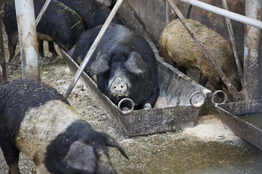 Die Mangalitza-Schweine am Eiblgut in Anthering.