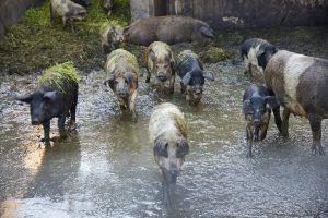 Laufend frisches Mangalitza-Schwein.