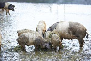 Konferenz der Schweine
